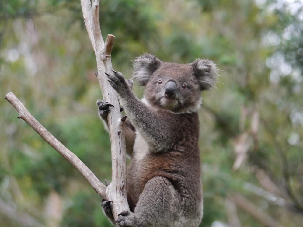 koala climbing top (1)