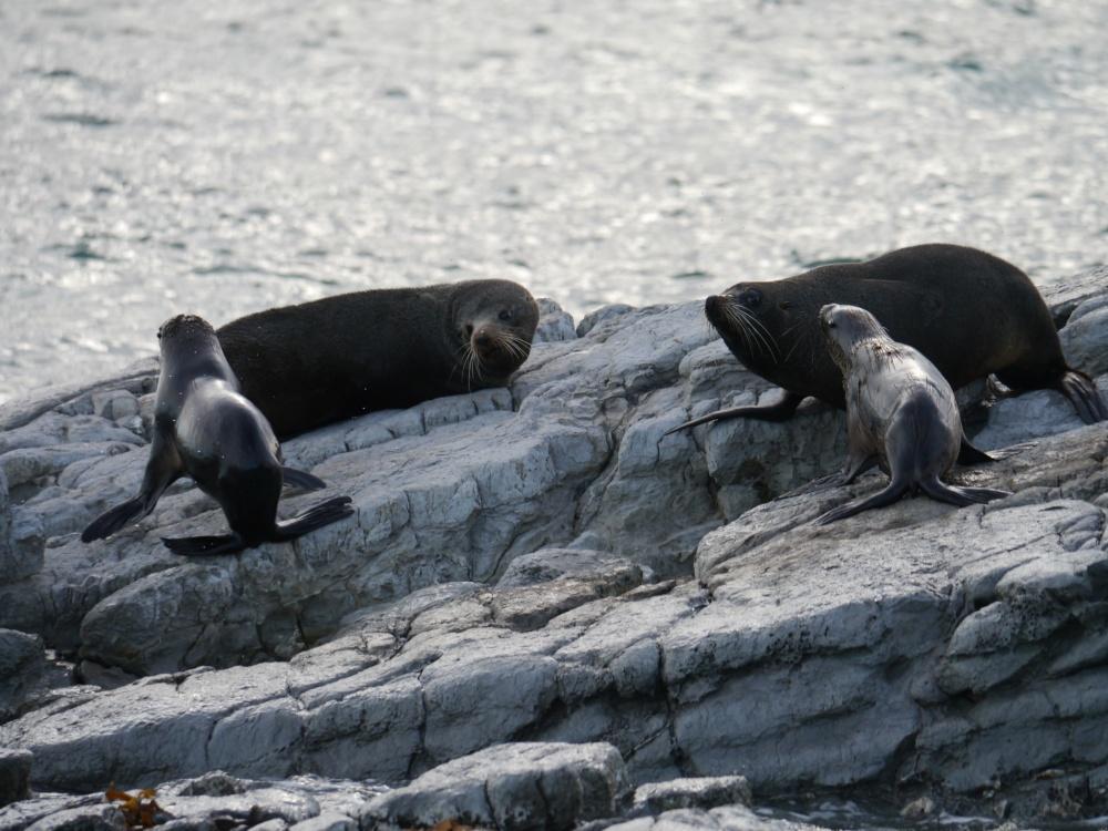 4 seals on rocks