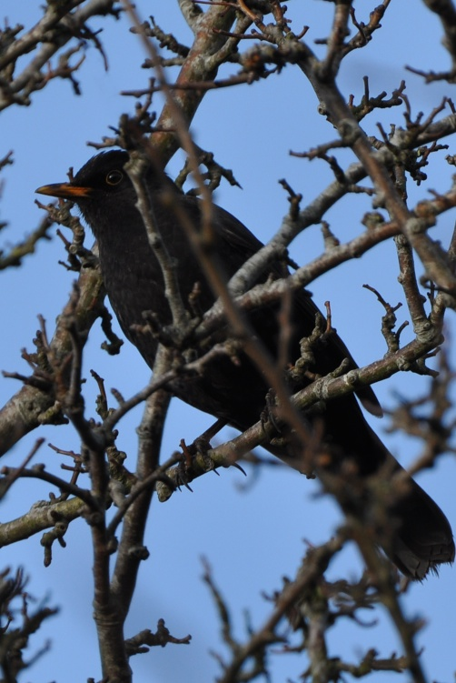 Birds blackbird - Version 3