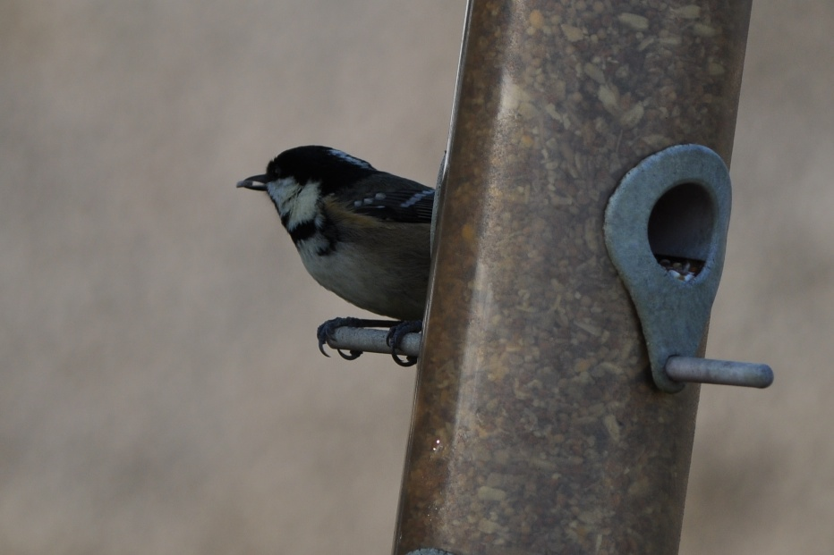 birds coal tit seed in mouth