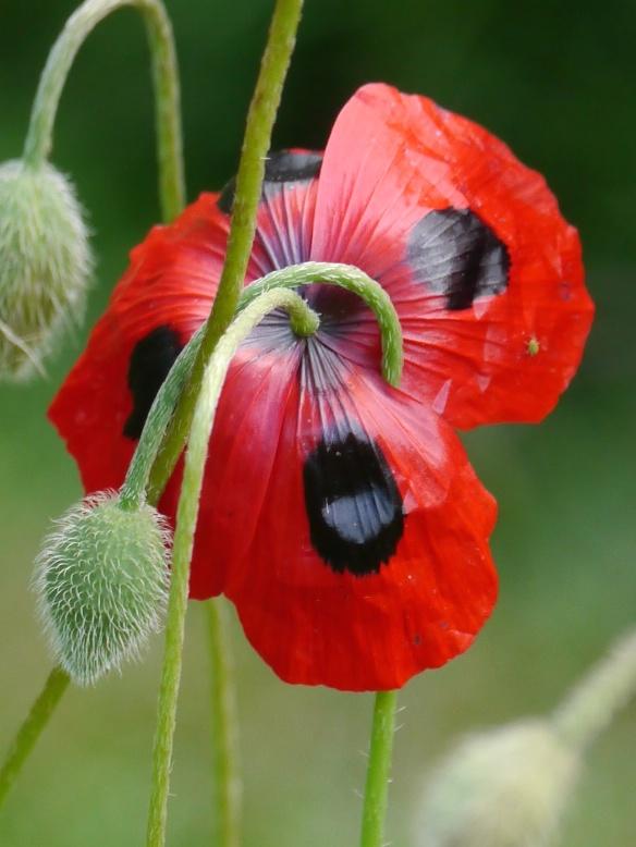 NZ hobbiton poppy