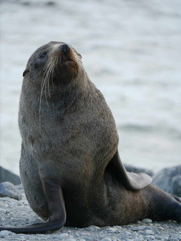 seal with whiskers