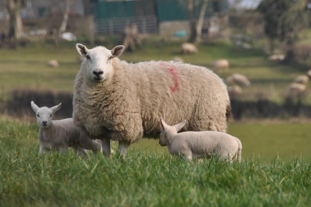 Ewe and 2 lambs