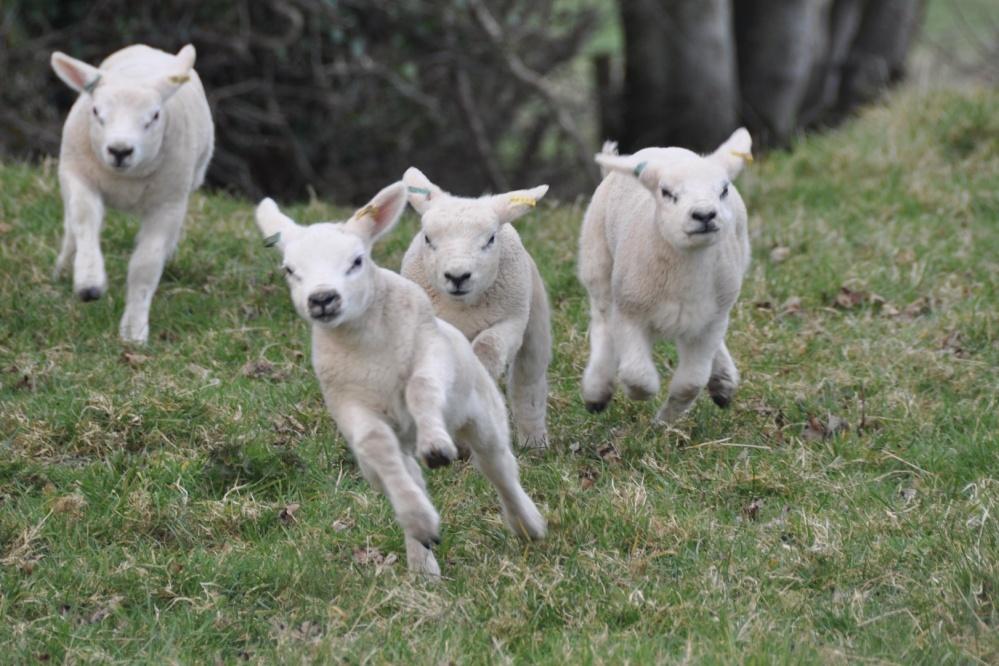 Gambolling lambs