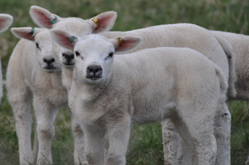 Lamb faces