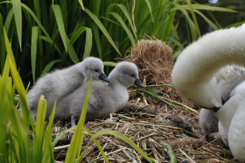 Cygnets climbing out of water