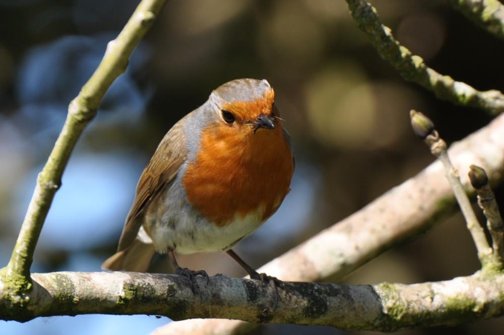 Kiltonga robin feeding (1)