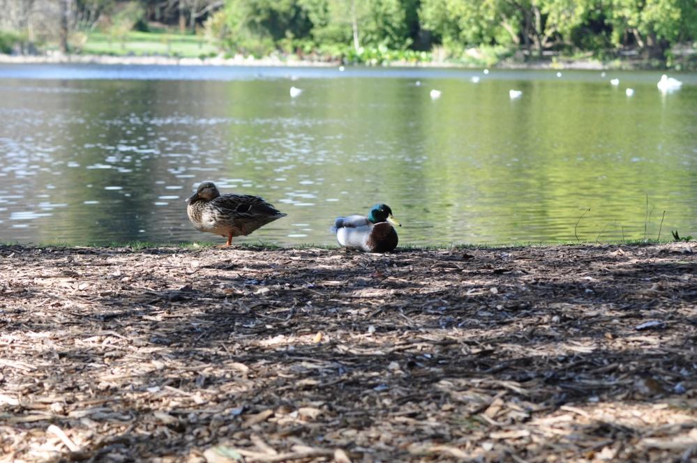 Mount Stewart lake and ducks