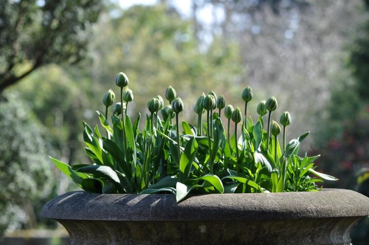 Mount Stewart tulips