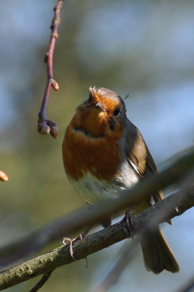 Robin in Belmont Park 3 (1)