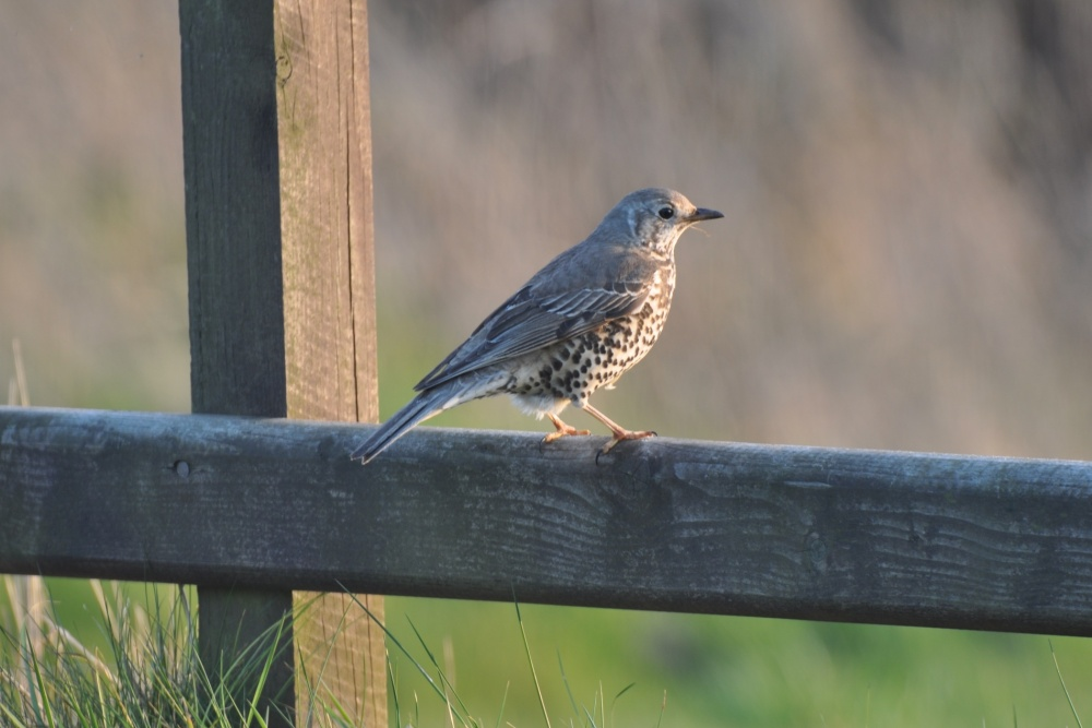 thrush on fence (2)