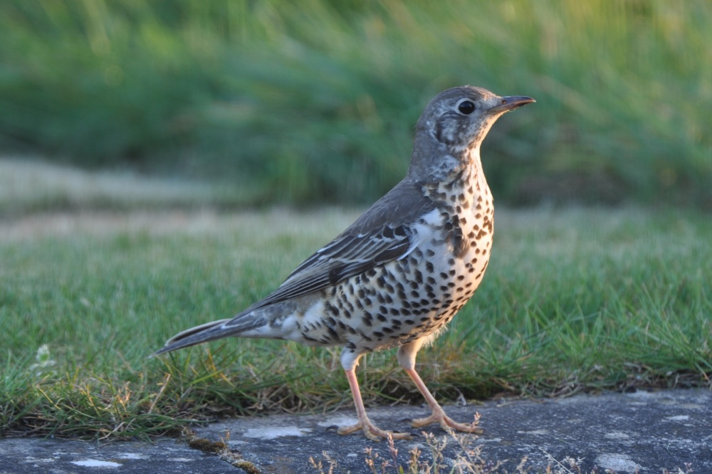 thrush on front lawn (1)