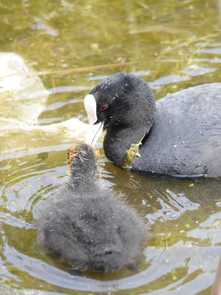 coot feeding her chick