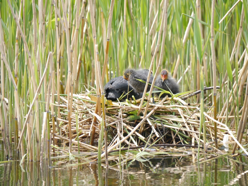 coot nest in reeds