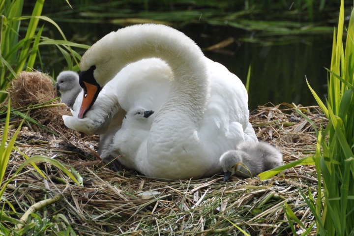 cygnet under wing