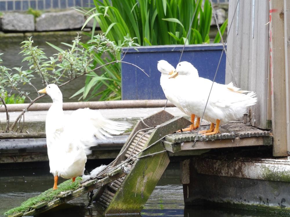 ducks in De Beauvoir Town
