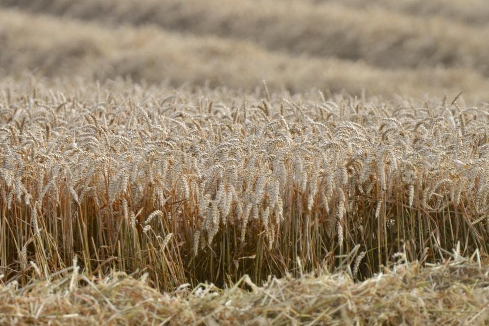 Ballylisbredan wheat harvest