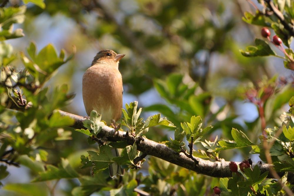 Brambling (female winter plumage)