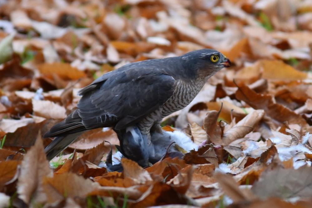 Kew sparrowhawk