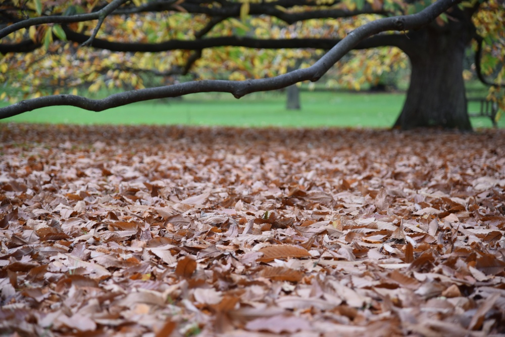 Kew sweet chestnut leaves on ground