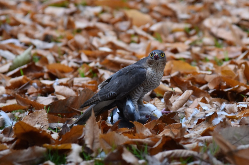 sparrowhawk in Kew 6